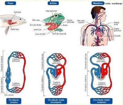 Caracteriza-se pela ausência de espaço extracelular, ou seja, o sangue flui exclusivamente dentro dos vasos, ocorrendo troca de substâncias entre o sangue e os tecidos.  <br/><br/> Palavras-chave: circulação sanguínea, capilares, artérias, veias, sangue.