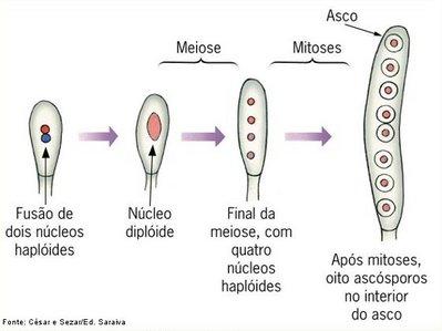 Estrutura de reprodução de fungos da classe Ascomicetos. São formados no interior de uma estrutura denominada asco (saco).  <br/><br/> Palavras-chave: fungos, reprodução, esporos, Saccharomyces, Penicillum.