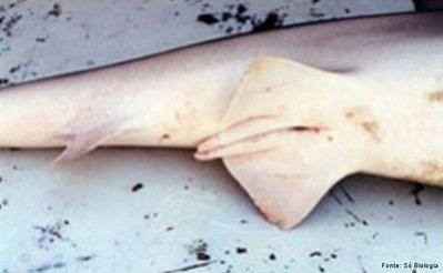 Projeção de pele localizada na parte interna das nadadeiras pélvicas dos tubarões machos. É inserido dentro da fêmea para transferir o sêmen, durante a cópula. <br/><br/> Palavras-chave: Condrícties. Tubarões. Cópula. Estrutura. Nadadeira. Pélvica. Fecundação. Sêmen.