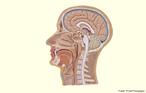 Em corte transversal, apresenta as estruturas que compõe o neurocrânio e o esqueleto da face. <br/><br/> Palavras-chave: anatomia, cabeça, ossos, músculos, encéfalo, bulbo cerebral, pescoço.