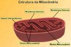 Apresenta as estruturas internas e externas de uma mitocôndria. Mostra a localização das membranas interna e externa, bem como o espaço que existe entre elas. Aponta ainda a crista mitocondrial e a matriz mitocondrial. <br></br> Palavras-chave: Citologia. Organoides citoplasmáticos. Mitcôndria.