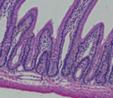 Imagem que mostra os tecidos e os músculos presentes no estomago. <br></br> Palavras-chave: Histologia. Tecidos. Músculos.