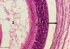 Fotomicrografia de Retina. Coloração por Hematoxilina Eosina. Observa-se: a retina (indicada pelo número 4), corpo vítreo (indicado pelo número 2) e coróide (indicada pela seta longa). <br/><br/> Palavras-chave: Anatomia. Histologia. Visão. Estruturas. Tecidos. Coloração.