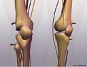 Ilustra as articulações e ossos do joelho. <br/><br/> Palavras-chave: Corpo Humano, Sistema Esquelético, Articulação, Joelho, Ossos