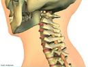 Mostra a coluna cervical, local de sustentação e movimentação da cabeça. <br/><br/> Palavras-chave: Corpo Humano, Sistema Esquelético, Locomoção, Movimentação, Cabeça, Coluna, Cervical