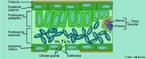 Desenho esquemático da parte interna de uma folha. <br/><br/> Palavras-chave: Planta, Folha, Interno, Vegetal, Anatomia