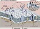 Envoltório que delimita a célula, ou seja, separa o conteúdo citoplasmático do meio em que ela se encontra. É formada, principalmente, por fosfolipídeos e proteínas. Tem como função selecionar substâncias que devem entrar e sair da célula. <br/><br/> Palavras-chave: Citologia, permeabilidade seletiva, membrana celular, mosaico fluido.