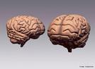 É constituido por um conjunto de estruturas especializadas que funcionam de forma integrada para assegurar unidade ao comportamento humano. Encontra-se localizado no interior do crânio, protegido por um conjunto de três membranas, que são as meninges.