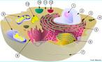 Esquematiza uma célula eucarionte com suas respectivas estruturas (membrana plasmática, hialoplasma, mitocôndrias, centríolos, núcleo, nucléolo, ribossomos, Complexo Golgiense, retículo endoplasmático liso, rugoso e lisossomos). <br/><br/> Palavras-chave: Citologia, componentes celulares, síntese de proteínas.