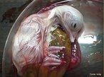 Embrião ocupa praticamente todo o espaço dentro do ovo, exceto a célula de ar. O pintinho está em posição de romper a casca. O bico atravessa a célula de ar e começa a respiração pulmonar.<br /> <br /> Palavras-chave: embriologia, pintinho, desenvolvimento, saco vitelínico, incubação.
