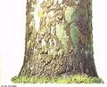 Tecido morto do súber. Camada externa da casca das árvores e outras plantas lenhosas. Atua como isolante térmico, evita desidratação e protege a planta contra choques mecânicos. <br/><br/> Palavras-chave: Histologia, felogênio, câmbio, súber.
