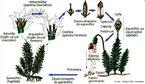 Plantas avasculares e restritas a ambientes úmidos e sombrios. Apresentam alternância de gerações em seu ciclo de vida. <br/><br/> Palavras-chave: Musgos. Gametófito. Dependência. Água. Anterozóide. Oosfera.