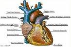 Órgão muscular oco que se localiza no meio do peito, sob o osso esterno, ligeiramente deslocado para a esquerda. Em uma pessoa adulta, tem o tamanho aproximado de um punho fechado e pesa cerca de 400 gramas. <br/><br/> Palavras-chave: Sistema. Cardiovascular. Miocárdio. Bomba. Batimentos. Cardíacos. Ventrículos. Átrios.