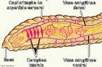 Processo respiratório onde a troca de gases é feita diretamente entre a superfície do corpo e o meio externo. Essas trocas ocorrem por diferença de concentração entre os dois meios. O oxigênio é difundido para o meio intracelular enquanto o gás carbônico percorre o caminho inverso. <br/><br/> Palavras-chave: Sistema. Respiratório. Hematose. Gases. Oxigênio. Carbônico. Animais. Invertebrados. Cútis. Superfície. Corpórea. Difusão.