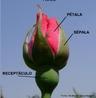 Figura mostra as partes de uma rosa. <br/><br/> Palavras-chave: partes, rosa, flor, planta, biodiversidade, sistemas biológicos, Botânica, Biologia, Ciências.