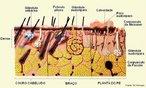 A pele é formado por duas camadas distintas, firmemente unidas entre si: a epiderme e a derme. Nas camadas inferiores da epiderme estão os melanócitos, células que produzem melanina, e as glândulas anexas (sudoríparas e sebáceas). A derme é um tecido conjuntivo que contém fibras protéicas, vasos sangüíneos, terminações nervosas, órgãos sensoriais e glândulas. <br/><br/> Palavras-chave: