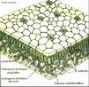 Estruturas presentes nas folhas que auxiliam na eliminação do excesso de água na forma de vapor de água. <br/><br/> Palavras-chave: folha, eliminação, excesso, água, vapor, sistemas biológicos, Botânica, Biologia, Ciências.