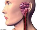 São vasos sanguíneos que levam sangue arterial do coração para o cérebro. <br/><br/> Palavras-chave: Sistema Circulatório, Corpo Humano, Vasos Sanguíneos, Artéria, Coração, Cérebro