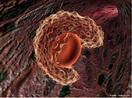 Englobamento e digestão de partículas sólidas e microorganismos por fagócitos. <br/><br/> Palavras-chave: Citologia, Sistema Imunológico, Englobamento de Partículas Sólidas, Digestão, Fagócitos