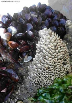 Animais invertebrados marinhos. Apresentam concha com duas valvas e se fixam aos substratos através de uma estrutura filamentosa, o bisso.<br /> <br /> Palavra-chave: moluscos, bivalvos, conchas, alimentação.