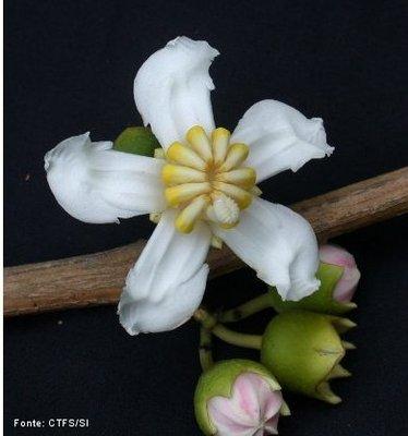 As flores pentâmeras são aquelas que apresentam partes florais em número de cinco ou múltiplo. São flores típicas das dicotiledôneas.<br /> <br /> Palavra-chave: Botânica, anatomia, dicotiledôneas, flores.