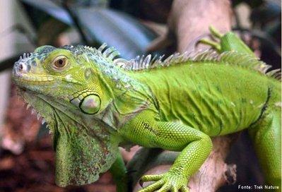iguana disciplina biologia