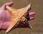 Estrela-do-mar com 4 braços. Praia de Ubu - Anchieta - ES.<br /> <br /> Palavra-chave: estrela, mar, braços, biodiversidade, Biologia, Ciências.