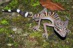 Tem a capacidade de subir pelas paredes auxiliada por uma estrutura especial nos dedos, dobras de pele que aderem a superfícies tão lisas. Alimentam-se de insetos e aranhas. Desova entre 01 e 02 ovos por postura, que eclodem após 42 a 84 dias de incubação. Vivem aproximadamente 08 anos. Habita regiões montanhosas e desérticas. <br /> <br /> Palavra-chave: Eublepharis macularius. Squamata. Réptil. Gekkonidae.