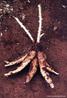 "De origem indígena, nome cientifico ""Manihot suculenta"", arbusto de origem do sudoeste da Amazônia. <br /> <br /> Palavra-chave: Indígena, ""Manihot"", Amazônia, Mandioca."