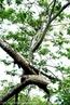 Família Mimosoideae, muito cultivada no Brasil pela madeira de boa qualidade e é nativa da América tropical. <br /> Palavra-chave: Mimosoideae, Brasil, madeira, tropical, Botânica, Biologia, Ciências.