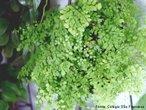 Planta pertencente ao grupo das Pteridófitas. São portadoras de vasos condutores de seiva e vivem preferencialmente, em ambientes úmidos e sombrios. <br /> Palavra-chave: filicíneas, pteridófitas, traqueófitas, criptógamas.