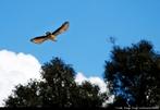 """Carcará ou carancho, é um Falconídeo. Seu nome científico é """"Polyborus plancus"""" ou """"Caracara cheriway"""", a subespécie brasileira é """"P. p. brasiliensis"""" <br /> Palavra-chave: carancho, Falconídeo, Zoologia, Biologia, Ciências."""