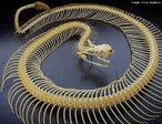 """Serpente terrícola de atividade crepuscular e noturna. Encontrada na América do Sul, principalmente no território brasileiro. Quando ameaçada enrola-se quase que por inteiro, levanta a cauda e começa a vibrá-la rápida e vigorosamente, emitindo o característico som de seu guizo, um """"chocalho"""" (localizado na parte terminal da cauda), formado por vários anéis córneos (escamas modificadas) ocos e articulados entre si, fazendo um ruído que pode ser ouvido a dezenas de metros.  <br /> Palavra-chave: esqueleto, cascavel, serpente, guizo, cobra, ossos, bote."""