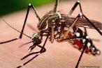 O Aedes aegypti é um mosquito preto com listras brancas no corpo. Vive dentro ou nas proximidades das habitações. Transmissor do vírus da dengue e da febre amarela, se desenvolve em água parada e limpa. <br /> Palavra-chave: artrópode, inseto, vetor, febre amarela, dengue.