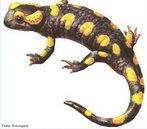 São animais com o corpo esguio, cabeça e tronco diferenciados e cauda bem desenvolvida e sempre presente no estado adulto. Têm a capacidade de regenerar os membros e a cauda se estes forem decepados. As salamandras vivem solitárias e produzem uma substância com cheiro para atrair parceiros na época do acasalamento e outra que usam para marcar seu território. Em geral só emitem sons quando querem espantar algum predador. <br /> Palavra-chave: Caudata. Urodela. Anfíbios. Salamandras. Regeneração.