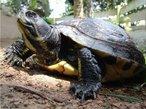 Animal pertencente a Classe Reptilia e a Ordem Chelonia. Apresenta uma carapaça córnea achatada que serve de proteção. Seu habitat é marinho e apresentam nadadeiras ao invés de patas.  <br /> Palavra-chave: Quelônios. Répteis. Testudíneos. Tartarugas.