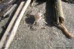Animal invertebrado pertencente ao filo artrópode e a classe crustácea. Cava buracos na areia para ficar longe do alcance da água. Apresenta o corpo dividido em cefalotórax e abdome. <br /> Palavra-chave: maria-fumaça, crustáceos, mudas, praia.