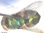 Mosca de grande porte, geralmente, apresentando uma coloração verde azulado metálico. Possui importância ecológica - decompõe a matéria orgânica - e médico-sanitária - vetora mecânica de enteropatógenos. Palavras-chave: Chrysomya, putrefação, miíases, estudos forenses, larvas parasitas.