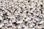 Aves oceânicas ou aves marinhas são aves adaptadas ao meio ambiente marinho.<br /> <br /> Palavra-chave: Zoologia, Aves, Meio Ambiente, Adaptadas, Marinho.
