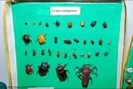Grupo de animais mais diverso que existe. <br /> Palavra-chave: Coleoptera, animal, inseto, diversidade, Zoologia, Biologia, Ciências.