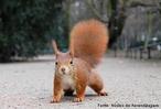 É um roedor omnívoro que habita árvores, sendo muito comum por toda a Eurásia.<br /> <br /> Palavra-chave: roedor, vermelho, árvores, biodiversidade, Zoologia, Biologia, Ciências.