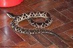 Esta serpente apresenta coloração dorsal variável entre cinza, rosa, amarelo, marrom ou preto, com manchas triangulares marrom-escuro e pode atingir mais de 2 metros de comprimento. Alimenta-se de ratos, preás, rãs, sapos, pererecas, entre outros. A cada gestação, que ocorre no início da estação chuvosa, nasce entre 16 a 20 filhotes.<br /> <br /> Palavra-chave: reptilia, squamata, viperidae, serpentes, jararacuçu.