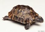 Tartarugas ou quelônios são répteis da Ordem Testudinata (Chelonioidea). O grupo tem cerca de 300 espécies de tartarugas e cágados, e ocupa habitats diversificados como os oceanos, rios ou florestas tropicais. As tartarugas estão na lista dos maiores répteis do mundo.<br /> <br /> Palavra-chave: Zoologia, Répteis, Ordem Testudinata (Chelonioidea), Espécies, Tartarugas, Cágados, Oceanos, Rios, Florestas Tropicais