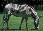 Mamífero herbívoro encontrado nas savanas africana (região sul e central). Apresentam o corpo coberto de listras que vão escurecendo com a idade. A gestação da fêmea dura por volta de 360 dias, nascendo apenas um filhote. Mede, em média, 2 metros de comprimento e 1,4 metros de altura. Tempo médio de vida: 25 a 30 anos.<br /> <br /> Palavra-chave: