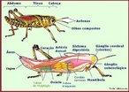 Inseto encontrado em diversas regiões do mundo. Apresenta as pernas traseiras grandes e fortes, o que possibilita, a este inseto, saltar a grande distância.<br /> <br /> Palavra-chave: artrópoda, animal, invertebrado, insecta, plantações.