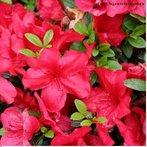 Originária da Ásia, a azálea pertence à família das ericáceas. O arbusto, cujo porte ao ar livre oscila entre dois e três metros, foi e continua a ser submetido a frequentes processos de hibridação e seleção, dos quais decorrem seus atuais cultivares.<br /> <br /> Palavra-chave: Vegetal. Ericáceas. Rhododendron. Arbousto. Azaléia. Híbridos.