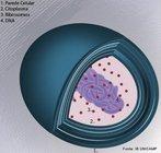 Seres unicelulares, procariontes e visíveis ao microscópio óptico. Podem ser encontradas isoladas ou em colônias. Não apresentam compartimentos internos diferenciados realizando funções diferentes, como mitocôndrias e complexo Golgiense.<br /> <br /> Palavra-chave: monera, micro-organismos, procariontes, patogênicas, benéficas.