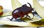 Vive em florestas tropicais da América do Sul. Apresentam grandes chifres (apêndices cefálicos e torácicos) que utilizam em disputas entre machos, pela fêmea, na época do acasalamento. É capaz de suportar 850 vezes seu próprio peso. Mede entre 30 a 57 mm de comprimento e entre 14 a 21 mm de largura, normalmente é preto com mesclas de encarnado muito escuro.<br /> <br /> Palavra-chave: Oryctes rhinoceros, artrópodes, insetos, besouro-hércules, Dynastinae, Coleoptera.