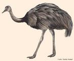 Maior ave do Brasil, pode atingir 1,70 m de altura, e até 35Kg. Vive em regiões campestres e cerrados. Possui asas atrofiadas, penas de cor marrom acinzentada e três dedos em cada pé. Após o acasalamento ocorre a postura de até 15 ovos que eclodem em torno de um mês. A maturidade sexual ocorre aos três anos de idade e tem expectativa média de vida de quarenta anos.<br /> <br /> Palavra-chave: aves, Rhea, Rheidae, perigo de extinção.
