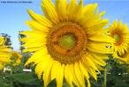 Girassol (Helianthus annuus) é uma planta anual da Família das Asteraceae. É caracterizada por possuir grandes inflorescências do tipo capítulo. <br /> Palavra-chave: Girassol, Planta, Anual, Asteraceae, Inflorescência, Capítulo